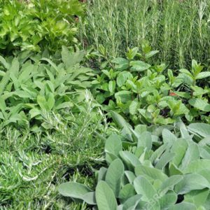 Plantes arômatiques