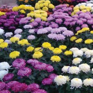 Grosses fleurs